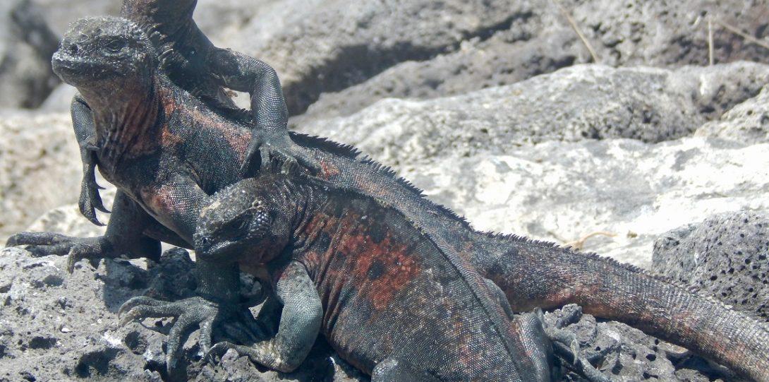Iguanas basking in the sun