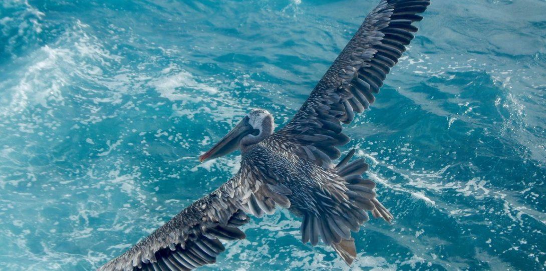 Pelican soars over water