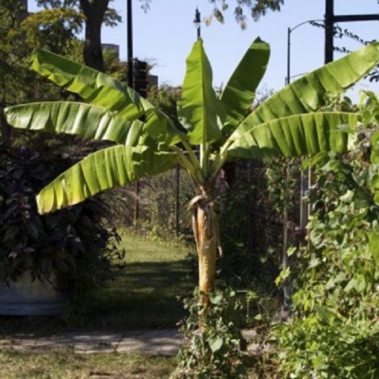 banana tree grown in Plant Research Lab