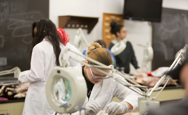 Student performing dissection in an anatomy lab class