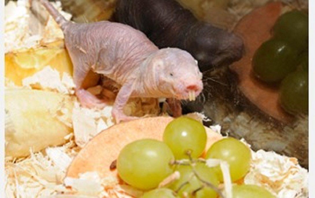 mole rat eating a grape